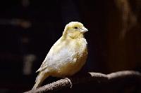 canario en kiche