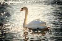 cisne en kiche