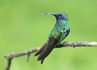 colibri en kiche
