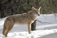 coyote en kiche