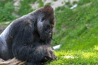 gorila en kiche