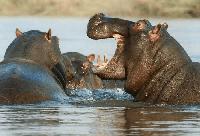 hipopotamo en kiche