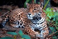 jaguar en kiche