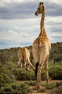 jirafa en kiche