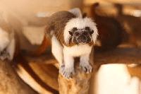 mono en kiche