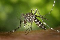 mosquito en kiche