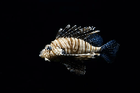 pez en kiche