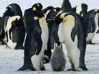 pinguino en kiche
