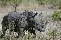 rinoceronte en kiche