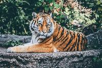 tigre en kiche