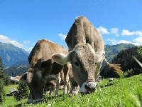 vaca en kiche