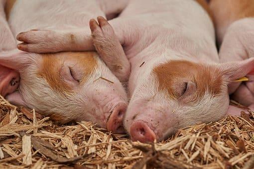 cerdo en chuj