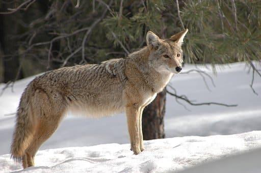 coyote en chuj