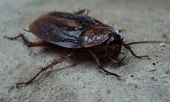 cucaracha en chuj