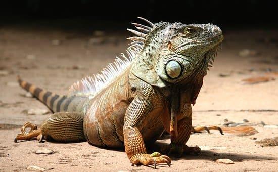 iguana en chuj