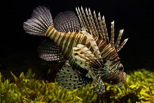 pez en chuj