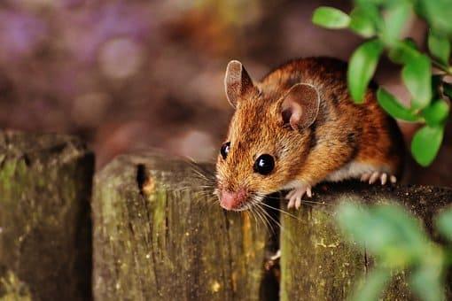 raton en chuj