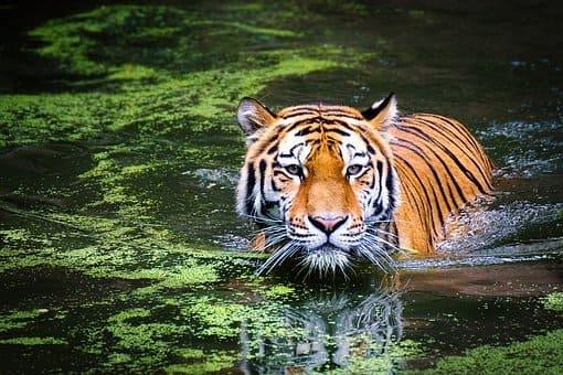 tigre en chuj