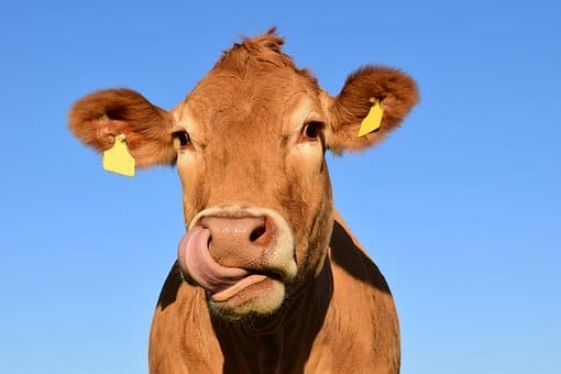 vaca en kaqchikel y español